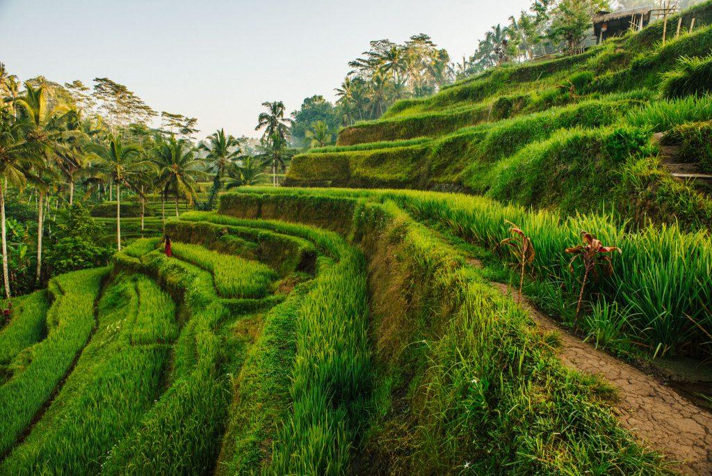 Tarasy ryżowe Tegallalang